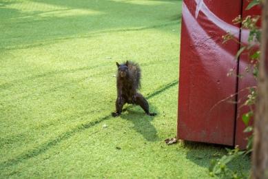 Schreckhaftes Eichhörnchen